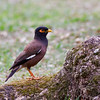 Common Myna (Hawaii)