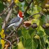 Red-crested Cardinal (Hawaii)