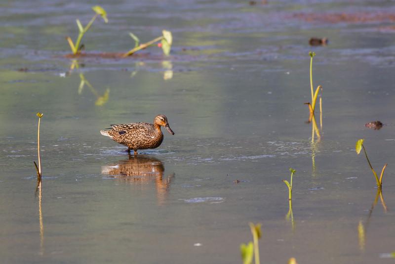 Koloa (Hawaiian Duck) (Hawaii)