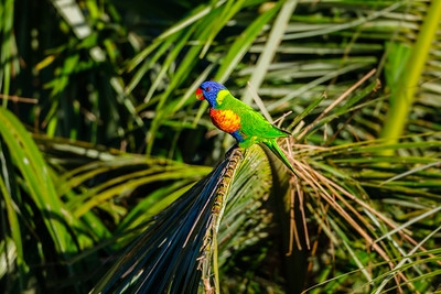 Rainbow Lorikeet - Queensland, Australia
