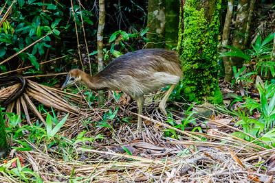 Cassowary chick - Queensland, Australia