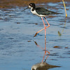 Hawaiian Stilt (Hawaii)