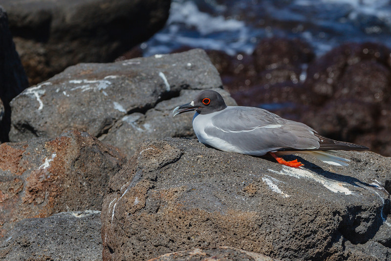 Swallow-tailed Gull (Galapagos)