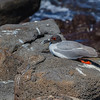 Swallow-tailed Gull (Galapagos)
