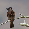 Red-vented Bulbul (Hawaii)