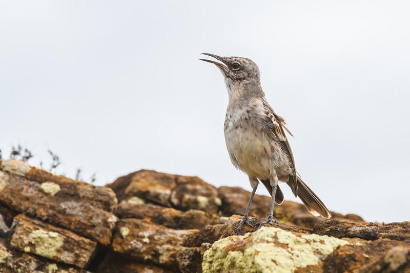 Galapagos Mockingbird (Galapagos)