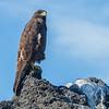 Galapagos Hawk (Galapagos)