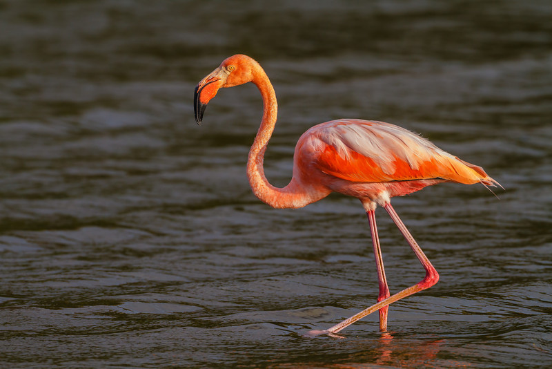 Greater Flamingo (Galapagos)