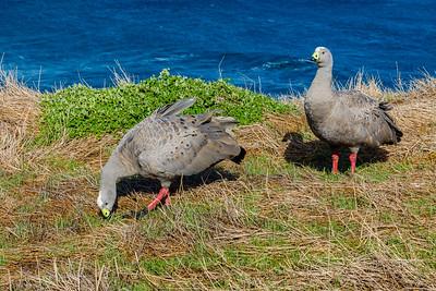 Cape Barren Goose - Victoria, Australia