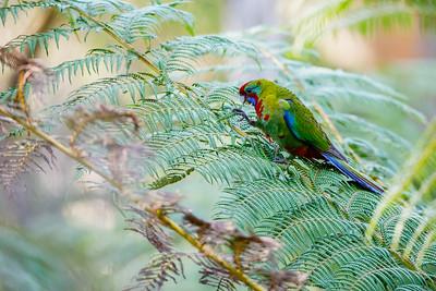 Juvenile Crimson Rosella - Victoria, Australia