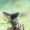 Black Ani (Galapagos)