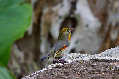 Red-billed Leiothrix (Hawaii)