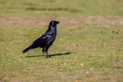 Australian Raven - Victoria, Australia