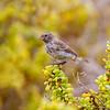 Darwin's Finch (Galapagos)