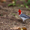Red-crested Cardinal (Hawaii)