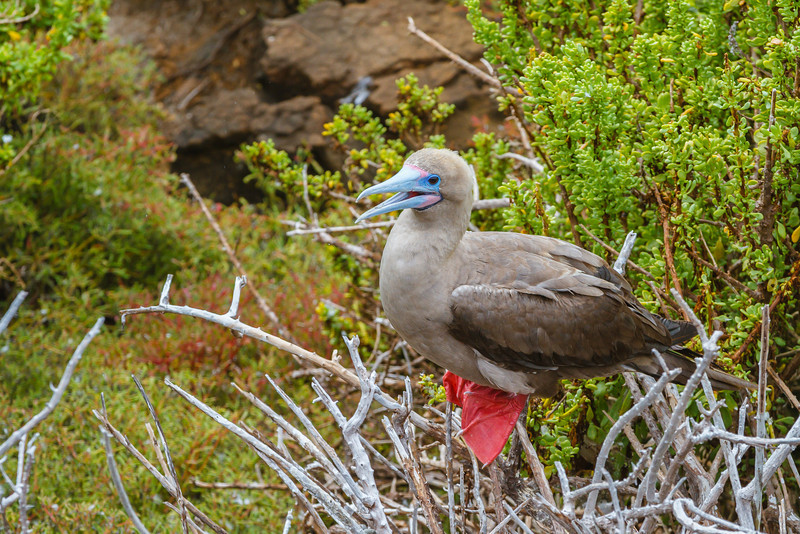 Red-footed Booby (Galapagos)