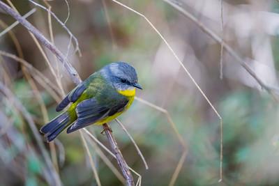 Eastern Yellow Robbin - Victoria, Australia