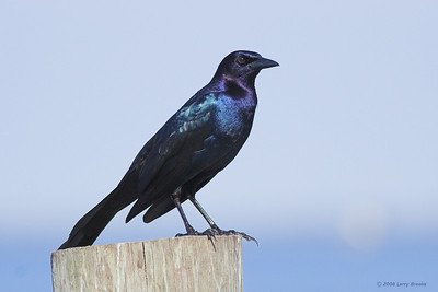 Boat-tailed Grackle found at Joe Overstreet's Landing