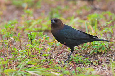 Brown-headed Cowbird, found at Merritt Island NWR