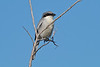 Loggerhead Shrike, Merritt Island NWR