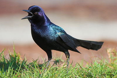 A Boat-tailed Grackle raises a ruckus.