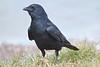 Fish Crow, Merritt Island NWR