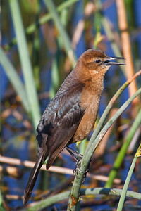 Boat-tailed Grackle (female), Viera Wetlands