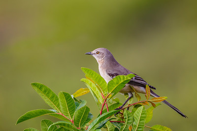 Northern Mockingbird along Blackpoint Wildlife Drive in Merritt Island NWR