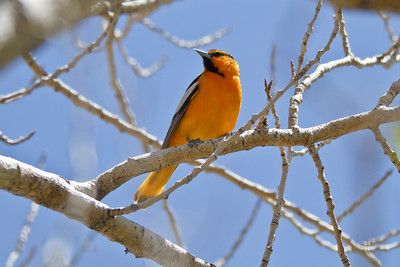 Bullock's Oriole, Red Rocks Park (Denver)