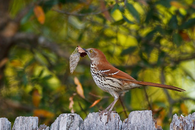 A Brown Thrasher, caught snooping around in the back yard