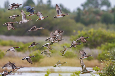 A typical reaction to my camera! American Wigeons along with a Little Blue Heron and a Redhead make a fast getaway at Merritt Island NWR.