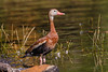 Black-bellied Whistling-Duck, Casselberry
