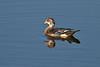 Juvenile Wood Duck, uptown Altamonte Springs