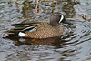 Blue-winged Teal, Viera Wetlands
