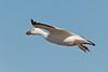 Muddy Snow Goose in flight over Bosque del Apache NWR, New Mexico