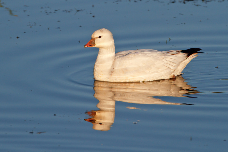Snow Goose, in Florida of all places!
