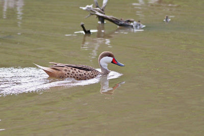 White-cheeked Pintail, seen on Frank Pond, St John USVI