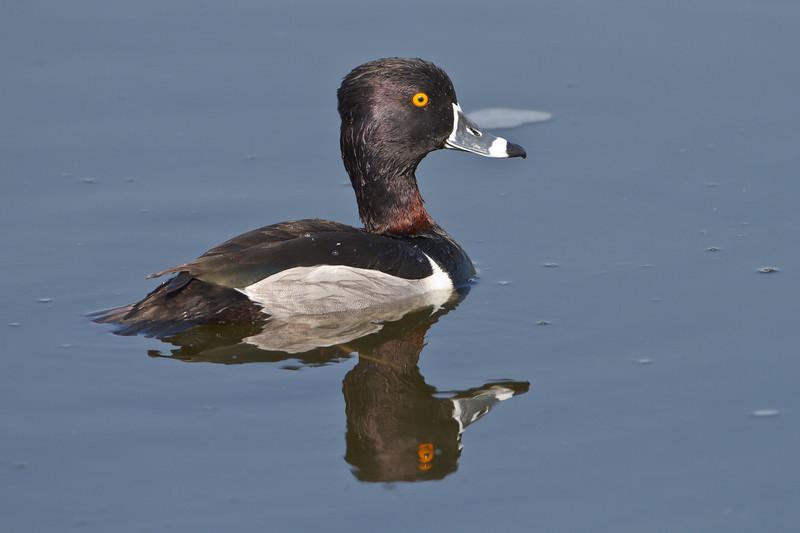 Ring-necked Duck, Viera Wetlands