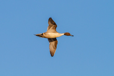 Northern Pintail in flight, Merritt Island NWR