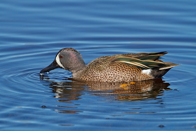 Blue-winged Teal, Merritt Island NWR