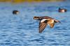 American Wigeon in flight, Merritt Island NWR.