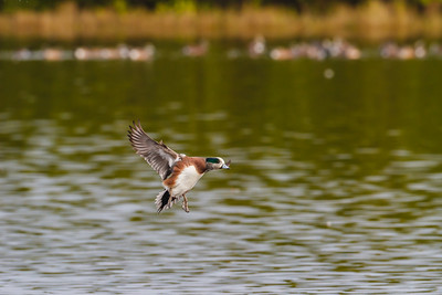 American Wigeon coming in for a wet landing, Merritt Island NWR