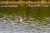 American Wigeon coming in for a wet landing, Merritt Island NWR