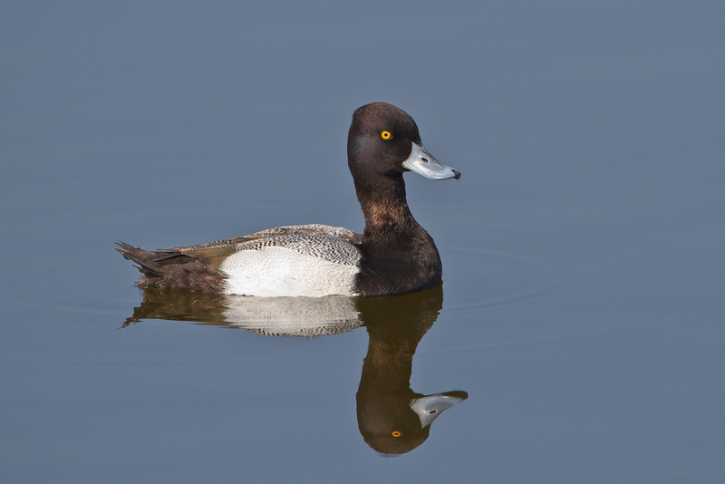 Lesser Scaup, Viera Wetlands