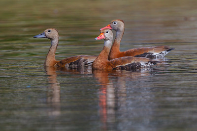Black-bellied Whistling-Ducks, Casselberry