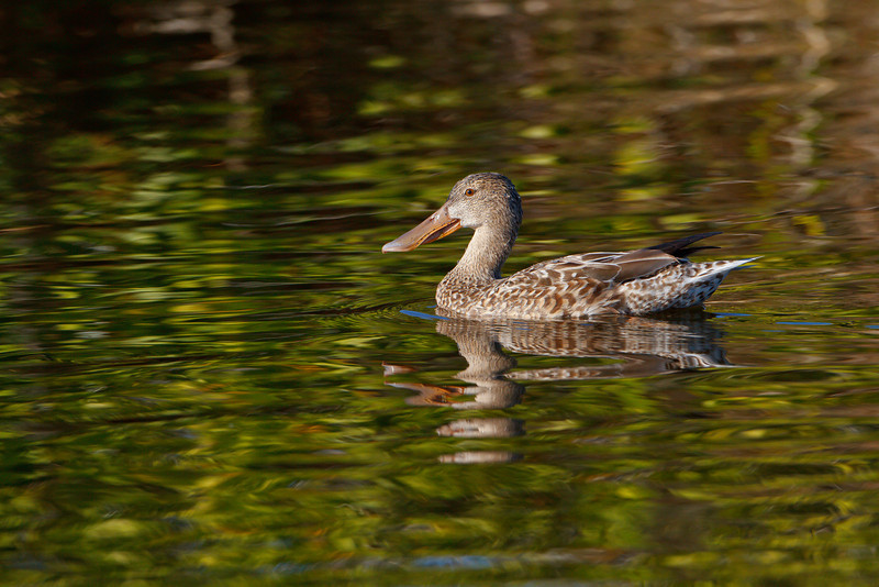 Northern Shoveler (female), Merritt Island NWR