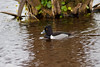 Ring-necked duck, Viera Wetlands