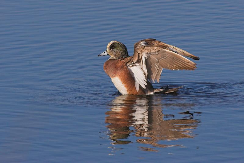 An American Wigeon stretches his wings at Merritt Island NWR.