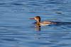 Red-breasted Merganser, Merritt Island NWR