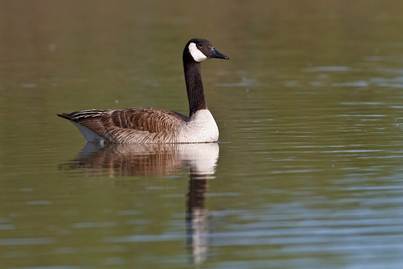 Canada Goose, found in the Denver suburbs